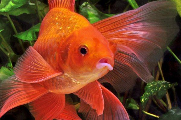 Золотая рыбка в вашем аквариуме
