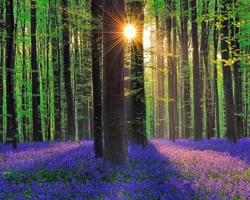 Лес из черники. Бельгия